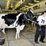 Jak se volí Miss kráva